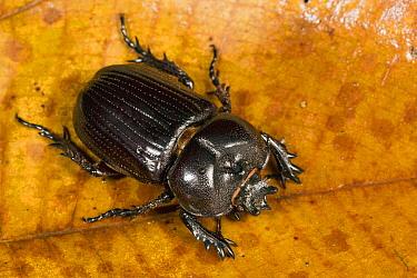 Rhinoceros Beetle (Phileurus truncatus), Barro Colorado Island, Panama  -  Cyril Ruoso