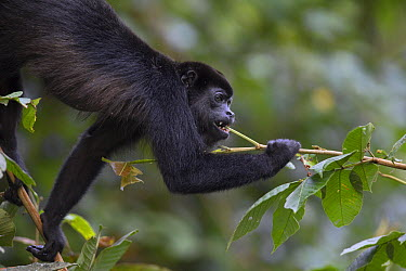 Mantled Howler Monkey (Alouatta palliata) feeding on new plant growth, Barro Colorado Island, Panama  -  Cyril Ruoso
