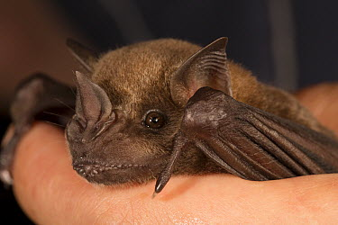 Greater Spear-nosed Bat (Phyllostomus hastatus) juvenile held by biologist, Barro Colorado Island, Panama  -  Cyril Ruoso