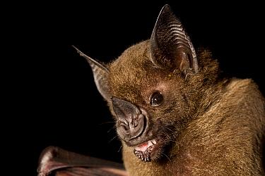 Greater Spear-nosed Bat (Phyllostomus hastatus) juvenile, Barro Colorado Island, Panama  -  Cyril Ruoso