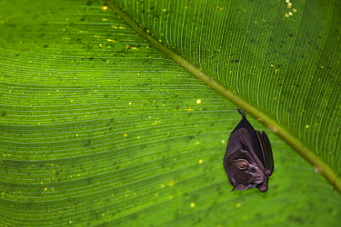 Peters' Tent-making Bat (Uroderma bilobatum) roosting under large leaf after making incisions causing leaf to bend and form tent, Barro Colorado Island, Panama  -  Cyril Ruoso