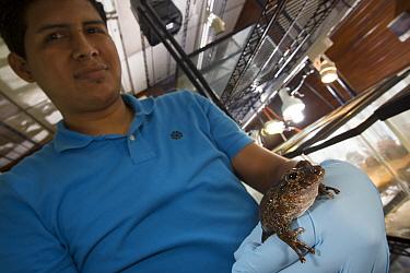 Toad-like Rain Frog (Strabomantis bufoniformis) that is part of captive breeding program, held by biologist, Panama  -  Cyril Ruoso