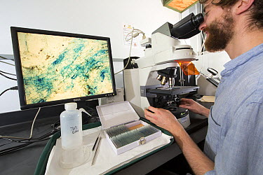 Biologist looking through microscope to study the relationships between fungi and trees, Barro Colorado Island, Panama  -  Cyril Ruoso