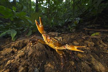 Short-tailed Crab (Potamocarcinus richmondi) in defensive posture, Barro Colorado Island, Panama  -  Cyril Ruoso