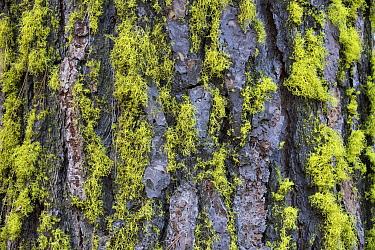 Wolf Lichen (Letharia vulpina) on tree trunk, Washington  -  Cyril Ruoso