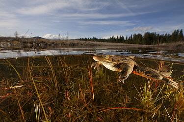 Oregon Spotted Frog (Rana pretiosa) swimming in pond, Conboy Lake National Wildlife Refuge, Washington  -  Cyril Ruoso