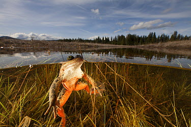 Oregon Spotted Frog (Rana pretiosa) floating in pond, Conboy Lake National Wildlife Refuge, Washington  -  Cyril Ruoso