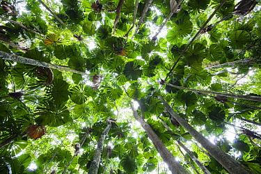 Licuala Fan Palm (Licuala ramsayi) canopy, Daintree National Park, Queensland, Australia  -  Konrad Wothe