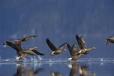 White-fronted Goose (Anser albifrons) flock taking flight, Alaska  -  Michael Quinton