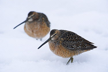 Long-billed Dowitcher (Limnodromus scolopaceus) pair in snow, Alaska  -  Michael Quinton