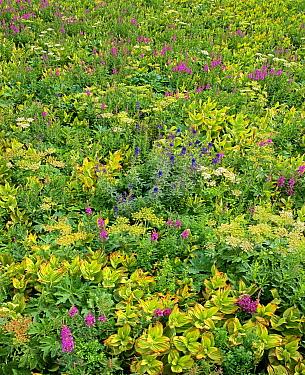 Fireweed (Chamerion angustifolium) flowering in dense brush, San Juan Mountains, Colorado  -  Tim Fitzharris