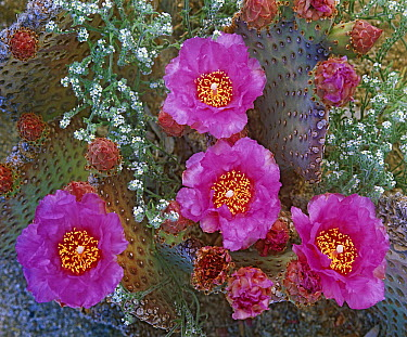 Beavertail Cactus (Opuntia basilaris) flowering, Arizona  -  Tim Fitzharris