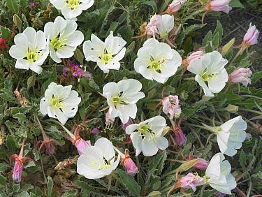 White Evening Primrose (Oenothera caespitosa) flowers, Texas  -  Tim Fitzharris