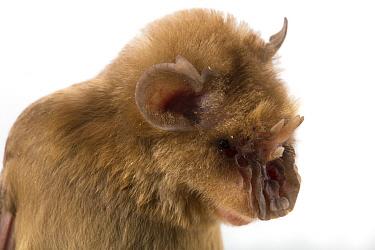 Persian Trident Bat (Triaenops persicus), also called Chewbaca Bat, Gorongosa National Park, Mozambique  -  Piotr Naskrecki