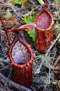 Pitcher Plant (Nepenthes copelandii) and Pitcher Plant (Nepenthes merrilliana) natural hybrids, Mount Kiamo, Mindanao Island, Philippines  -  Ch'ien Lee