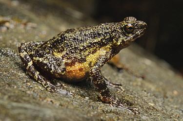 Mueller's Stream Toad (Ansonia muelleri), Mount Kiamo, Mindanao Island, Philippines  -  Ch'ien Lee