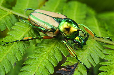 Flower Beetle (Phaedimus zebuanus), Mount Kiamo, Mindanao Island, Philippines  -  Ch'ien Lee