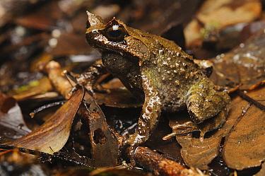 Mindanao Horned Frog (Megophrys stejnegeri) camouflaged in leaf litter, Mount Kiamo, Mindanao Island, Philippines  -  Ch'ien Lee