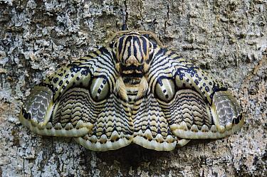Brahmin Moth (Brahmaea hearseyi) camouflaged on tree trunk, Mount Kiamo, Mindanao Island, Philippines  -  Ch'ien Lee