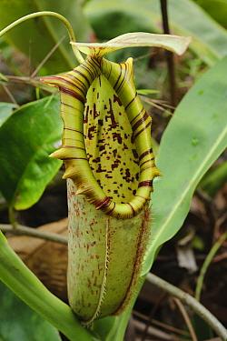 Pitcher Plant (Nepenthes northiana) pitcher, Bau, Sarawak, Borneo, Malaysia  -  Ch'ien Lee
