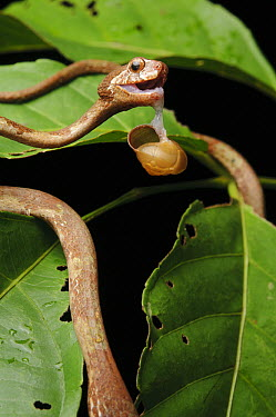 Blunthead Slug Snake (Aplopeltura boa) feeding on snail by using a technique called mandible walking, Kuching, Borneo, Malaysia  -  Ch'ien Lee