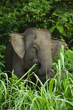 Borneo Pygmy Elephant (Elephas maximus borneensis) feeding on grass, Kinabatangan Wildlife Sanctuary, Borneo, Malaysia  -  Ch'ien Lee