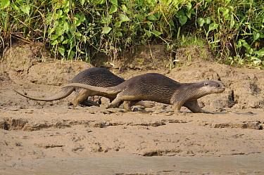 Indian Smooth-coated Otter (Lutrogale perspicillata) pair running on riverbank, Kinabatangan Wildlife Sanctuary, Borneo, Malaysia  -  Ch'ien Lee