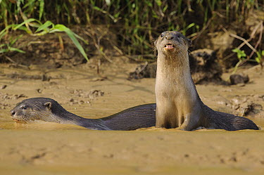 Indian Smooth-coated Otter (Lutrogale perspicillata) pair in shallow water, Kinabatangan Wildlife Sanctuary, Borneo, Malaysia  -  Ch'ien Lee