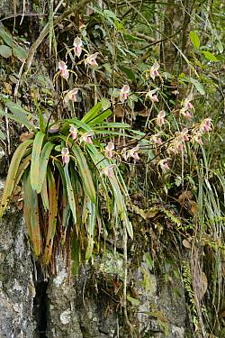 Orchid (Paphiopedilum stonei) flowering on limestone cliff, Fairy Cave, Bau, Sarawak, Borneo, Malaysia  -  Ch'ien Lee
