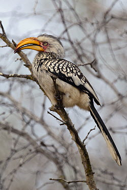 Southern Yellow-billed Hornbill (Tockus leucomelas), Kruger National Park, South Africa  -  Ch'ien Lee