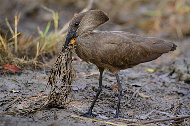 Hamerkop (Scopus umbretta) soaking dry grasses and sticks in mud before adding them to its nest, Kruger National Park, South Africa  -  Ch'ien Lee