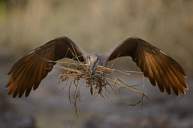 Hamerkop (Scopus umbretta) carrying mud-soaked grass and sticks back to its nest, Kruger National Park, South Africa  -  Ch'ien Lee