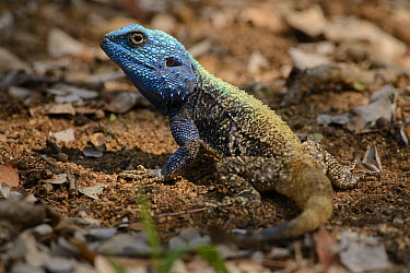 Southern Tree Agama (Acanthocercus atricollis), Kruger National Park, South Africa  -  Ch'ien Lee