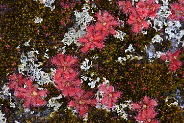 Sundew (Drosera trinervia) cluster, Table Mountain, Cape Town, South Africa  -  Ch'ien Lee