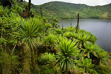 Giant Groundsel (Dendrosenecio erici-rosenii) and Lobelia (Lobelia sp) growing at edge of crater lake, Mount Bisoke, Parc National des Volcans, Rwanda  -  Ch'ien Lee