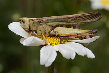 Pyrethrum (Chrysanthemum cinerariaefolium) flower with dead grasshopper that died after ingesting parts of the flower which contain a natural insecticide, Kibale National Reserve, Uganda  -  Ch'ien Lee