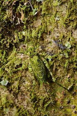 Katydid (Tettigoniidae) camouflaged on tree trunk, Kibale National Reserve, Uganda  -  Ch'ien Lee