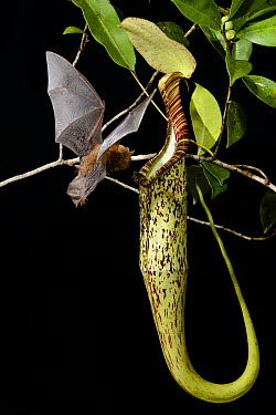 Hardwicke's Woolly Bat (Kerivoula hardwickii) arriving at Pitcher Plant (Nepenthes hemsleyana) pitcher to roost, Brunei  -  Ch'ien Lee