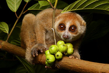 Bornean Slow Loris (Nycticebus menagensis) at night, Kuching, Borneo, Malaysia  -  Ch'ien Lee