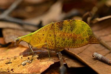 Katydid (Leptoderes ornatipennis) female mimicks leaf, Gunung Penrissen, Borneo, Malaysia  -  Ch'ien Lee