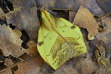Tent Caterpillar Moth (Radhica elisabethae) male mimicking a fallen leaf, Gunung Penrissen, Borneo, Malaysia  -  Ch'ien Lee