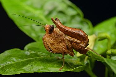 Mantis (Hestiasula sp) juvenile, Gunung Mulu National Park, Borneo, Malaysia  -  Ch'ien Lee