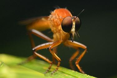 Robber Fly (Asilidae), Gunung Mulu National Park, Borneo, Malaysia  -  Ch'ien Lee