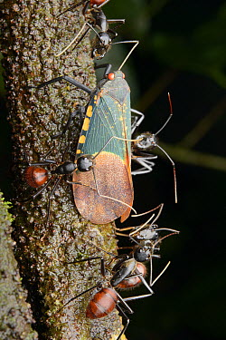Giant Forest Ant (Camponotus gigas) tending to Fulgorid Planthopper (Scamandra polychroma) for honeydew secretions, Gunung Mulu National Park, Borneo, Malaysia  -  Ch'ien Lee