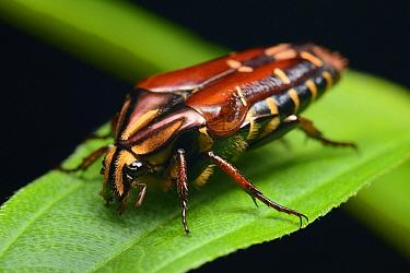 Flower Beetle (Coilodera helleri), Gunung Mulu National Park, Borneo, Malaysia  -  Ch'ien Lee