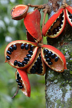 Kelumpang Sarawak (Sterculia megistophylla) split open fruit revealing shiny seeds, Sepilok Forest Reserve, Borneo, Malaysia  -  Ch'ien Lee