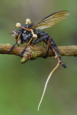 Fungus (Ophiocordyceps dipterigena) parasitic mushrooms emerging from robber fly after it has consumed its interior, Tangkoko Nature Reserve, Indonesia  -  Ch'ien Lee