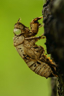 Cicada exuvium attached to tree, Tangkoko Nature Reserve, Indonesia  -  Ch'ien Lee
