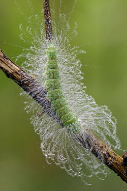 Moth (Lymantriidae) caterpillar with urticating hairs, Tangkoko Nature Reserve, Indonesia  -  Ch'ien Lee