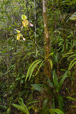 Low's Slipper Orchid (Paphiopedilum lowii) flowering on steep rocky slope on ultramafic hillside, Gunung Tumpu, Borneo, Indonesia  -  Ch'ien Lee